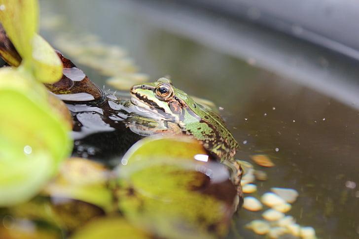 frog pond, frog, water frog, amphibian, animal, pond, garden pond