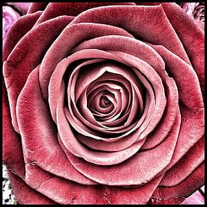 Rosa, flors, Roses, l'amor, flora, Rosa - flor, flor