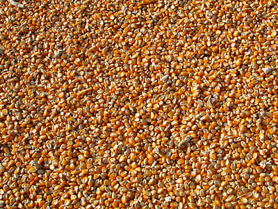 blat de moro, llavors seques de blat de moro, aliments, collita, blat de moro, llavors de blat de moro, taronja
