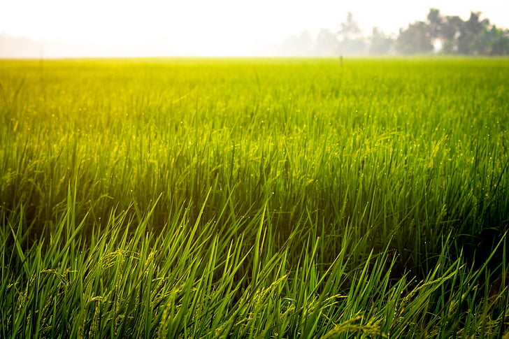 farm, rice, field, asian, agriculture, plant, green