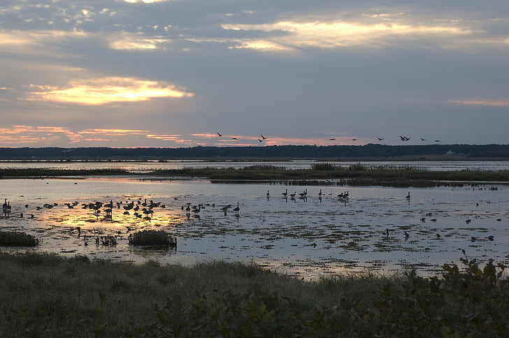 birds, geese, sunset, landscape, water, waterfowl, migratory
