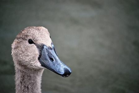 cygnet, head swan, swan