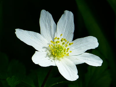 anemone lesa, pomlad, cvet, cvet, cvet, bela, vetrnica