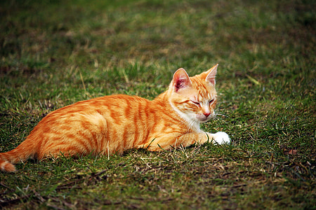 cat, red mackerel tabby, kitten, red cat, young cat, grass