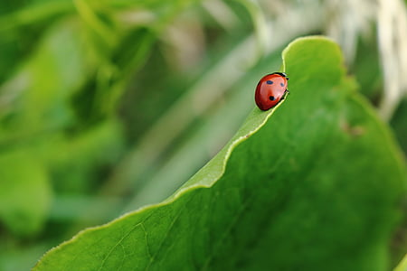 màu đỏ, màu đen, Lady, lỗi, màu xanh lá cây, lá, lá