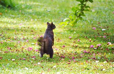esquirol, nager, rosegador, valent, natura, descarat, animal