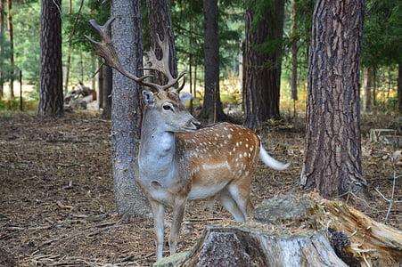 휴 경지 사슴, 휴 경지 사슴 발견, 동물, 뿔, 숲, 나무, 포유 동물