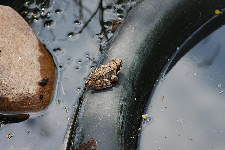 frog, garden pond, frog pond, nature, garden, pond with frogs