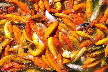 peixos carpa, peix, taronja, carpa, pesca, l'aigua, natura