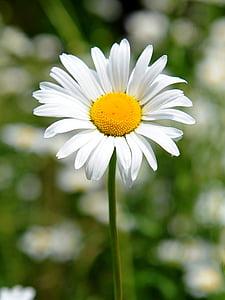 flower, stem, natural, summer, white, leaf, nature