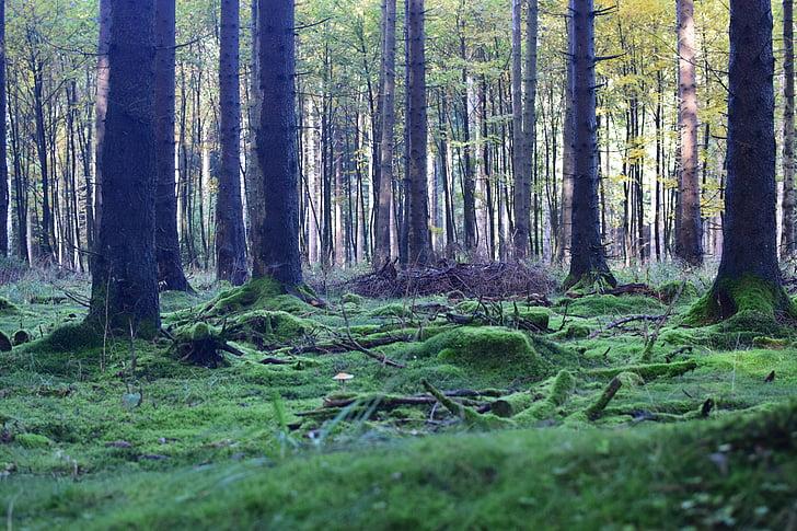 meža biezoknī, noskaņojums, meža, sūna, koki, daba, gaisma