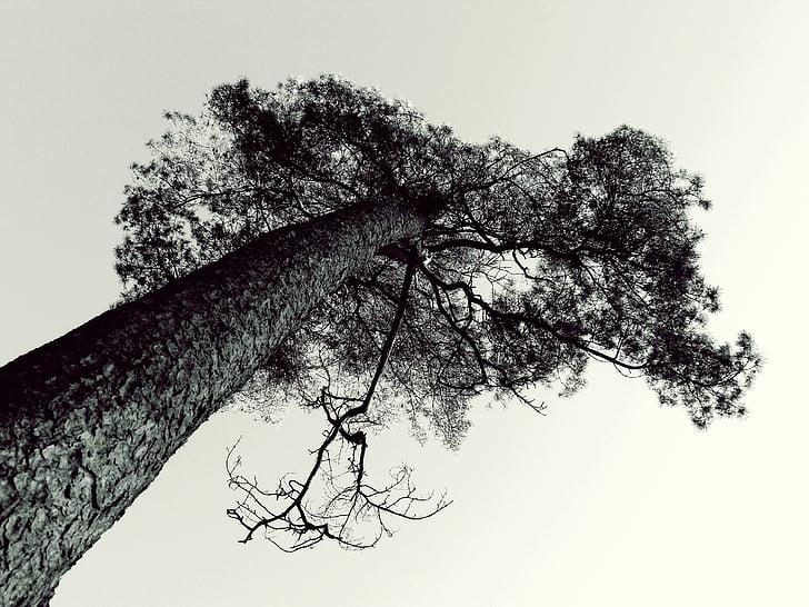tree, pine, cemetery, sky, top, high, tribe