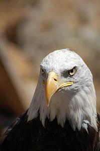 bird, beak, eagle
