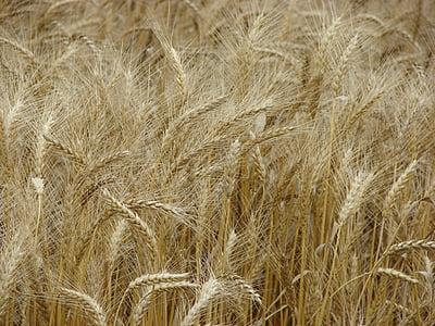 trigo, espiga de trigo, campo de trigo, cereais, grão da espiga, sementes, agricultura