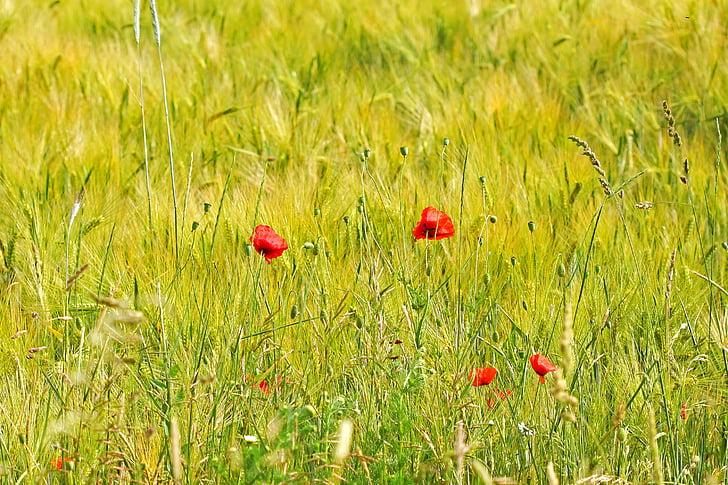 våren, fältet, blommor, gräs, vallmo, röd, grön
