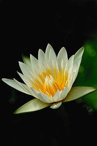 Lotus, květiny, Příroda, čerstvé, Bílý lotos, Bua ban, vodní rostliny