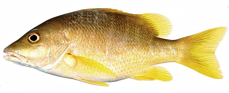 Желтая рыба, Снаппер, Плавник желтые рыбы, Рыба, желтый, желтый весы, Весы