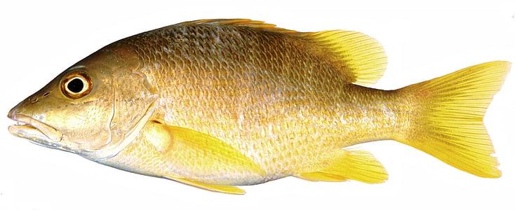 žuta riba, Snapper, žute ribe, riba, žuta, žute skale, vage