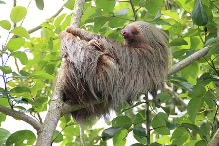 Peresós, Costa rica, Selva, vida silvestre, animal, natura, primats