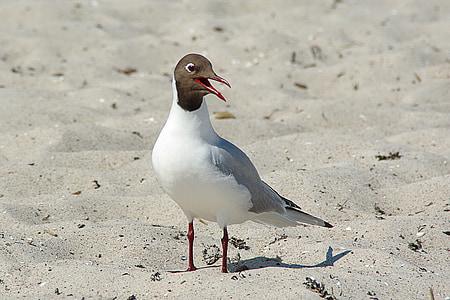 นางนวลสีดำมุ่งหน้า, larus ridibundus, นกน้ำ, ชายหาด, ทราย, ทะเลบอลติก, darß