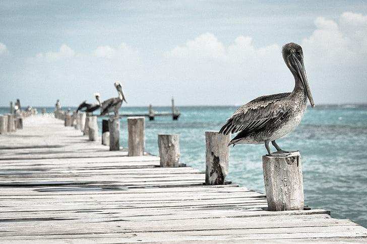 pelican, water bird, pelecanus conspicillatus, bird, pier, quay, ocean
