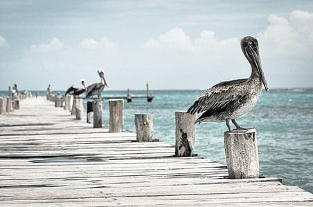 Pelican, vesilintu, Pelecanus conspicillatus, lintu, Pier, Quay, Ocean