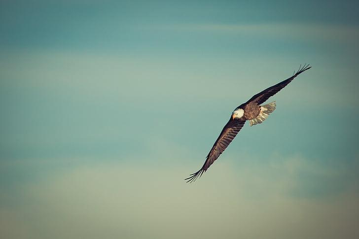 орел, орела лети, Рея, птица, природата, плешив, полет