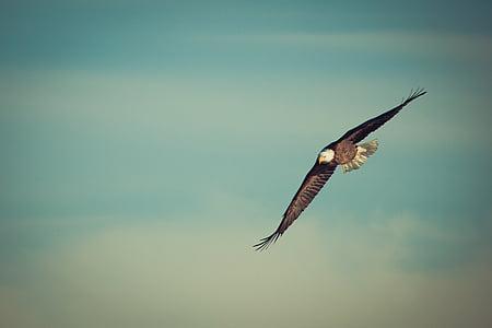Eagle, vliegende adelaar, Soar, vogel, natuur, kale, vlucht