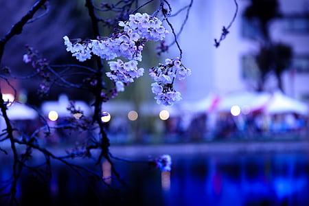 cirera, cirerer, Sakura, Japó, flors de primavera, k, vistes del Japó