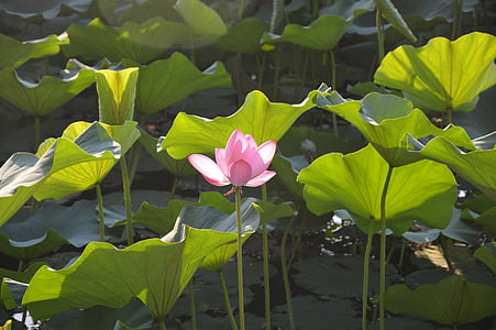 lotus, lake, flower, pink, summer, petals, leaves