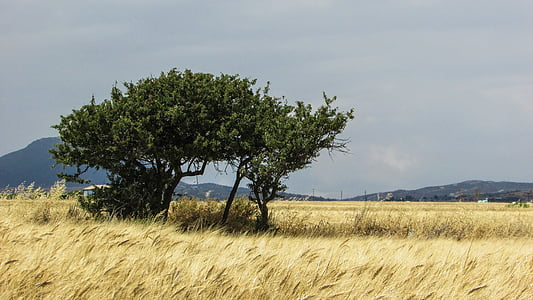 wheat field, field, golden, tree, landscape, countryside