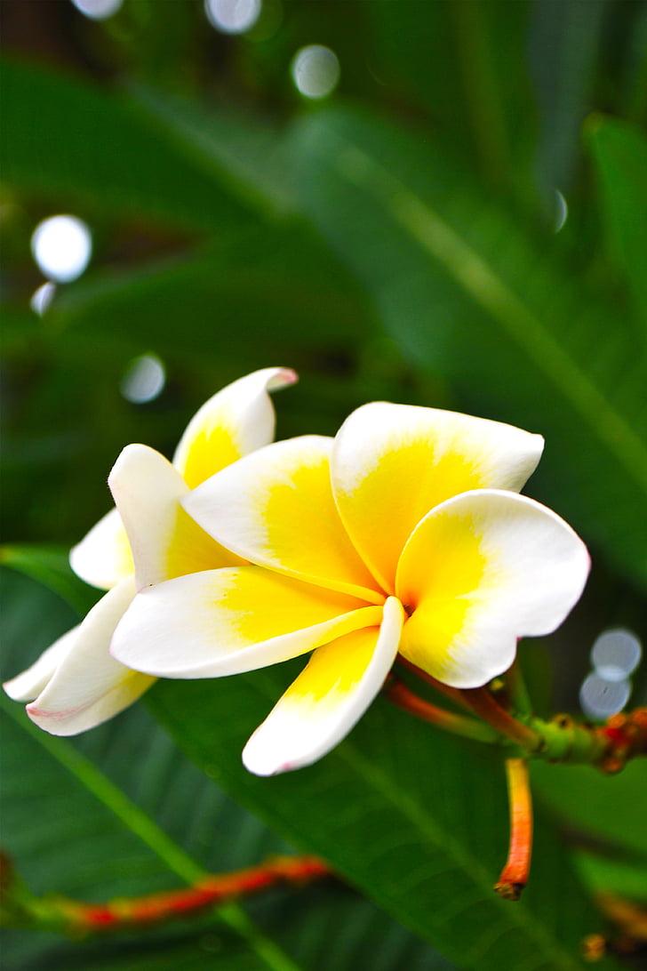 Frangipani, blomster, hvide blomster, flere oplysninger