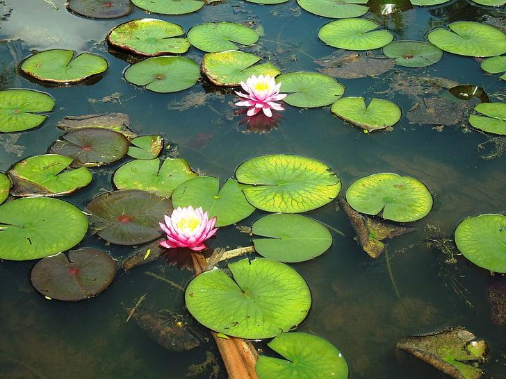 ziedi, skaists, gluda, ezers, daba