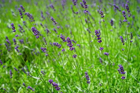 Levanda, levandų laukas, gėlės, violetinė, laukinių augalų, WildBlue, levandų gėlės