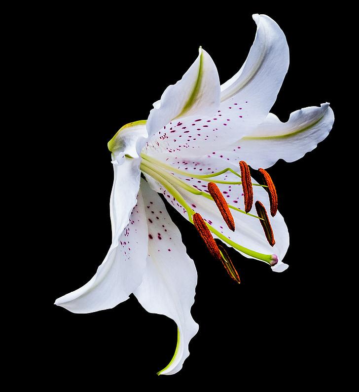 lliri, flor, flor, flor, blanc, puntets morats, florit