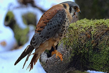 falcon, bund hawk, falconry, raptor, hunting, wildlife photography, nocturnal