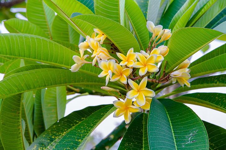 квіти, Додаткові відомості, жовтий, червоного жасмину, fragrapanti