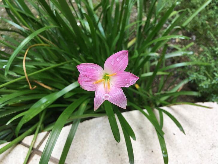 flor, flors de color rosa, natura, planta, color rosa, pètal, flor