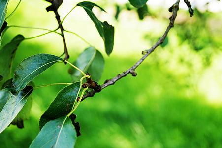 Zelená, Zelený strom, listy, makro, stromy, Príroda, Park