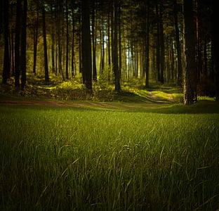 Forest, Príroda, stromy, tráva, fantasy, noc, mystické