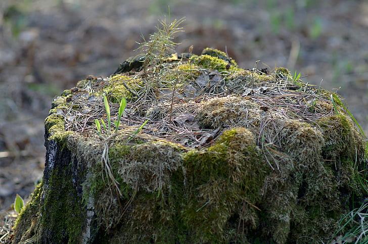 panj, proljeće, šuma, priroda, krupne, u šumi, šetnja