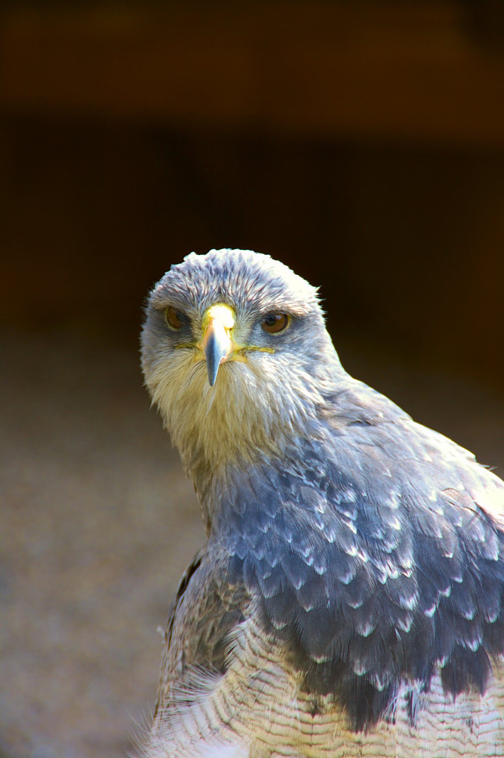 raptor, bird of prey, blue, birds of prey show