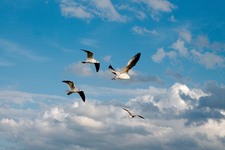 kuşlar, Deniz martı, Martılar, okyanus, Mavi gökyüzü, bulutlar