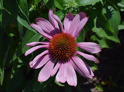 echinacea porpra, Echinacea, flor de con, medicinals, jardí, l'estiu, flor