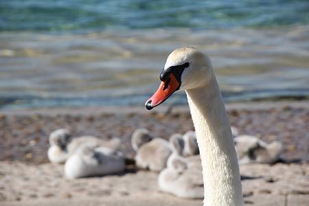 swan, swan family, bill