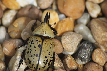 beetle, outdoor, nature, bug, insect, rock, wild