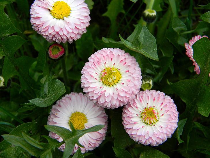 Daisy, roosad lilled, väikesed lilled, muru, lillepeenar, botaanika, Aed lill