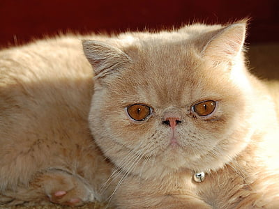 cat, persian, exotic, breed, pets, furry