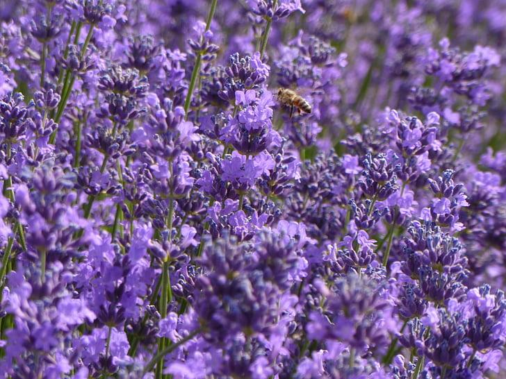lavendel, paars, paarse bloemen, lavendelvelden