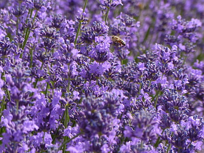 Levanda, violetinė, violetinės gėlės, levandų laukus
